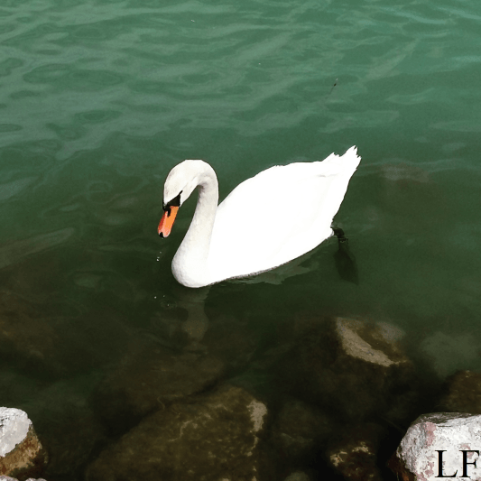 Swan at Lake Balaton