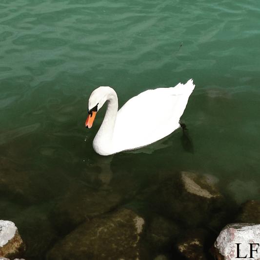 Swan at Lake Balaton