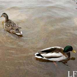 Ducks at Lake Balaton