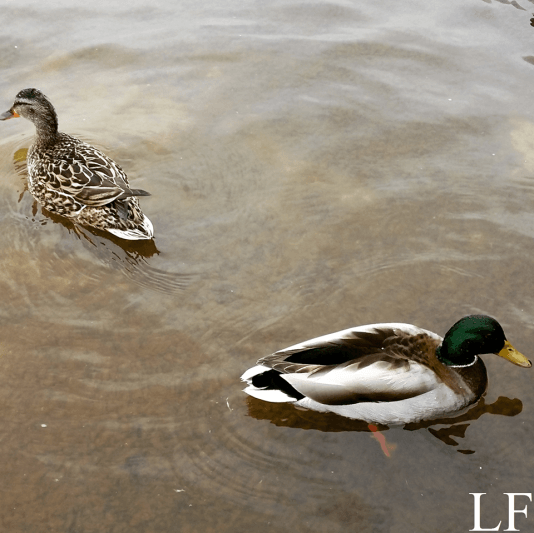 Ducks at Lake Balaton