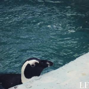 Cute little penguin in the Zoo of Szeged
