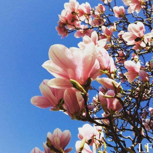 Magnolia blossom at Széchenyi Square