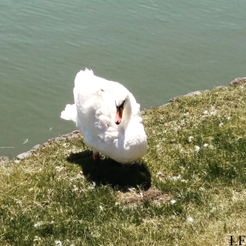 Swan on the Bank of Drava River