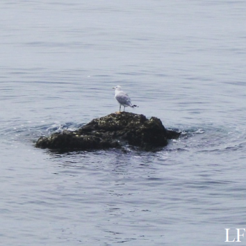 Seagull in Triest