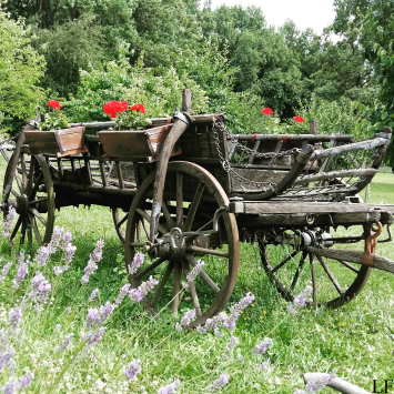 Lavender Days in Szeged