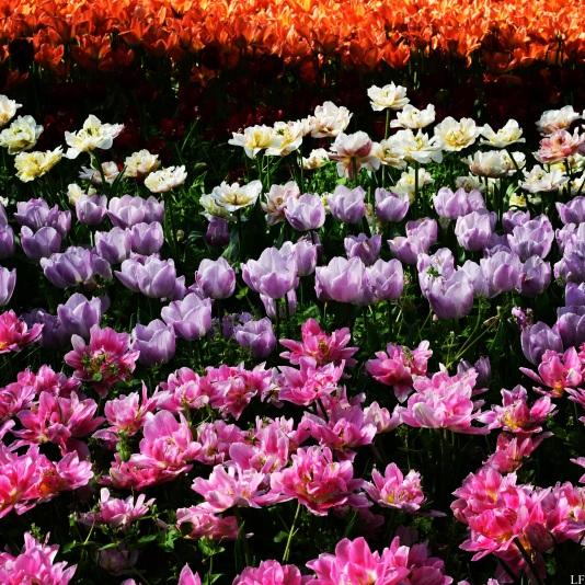 Tulips in Széchenyi Square, Szeged