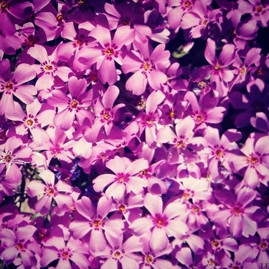 Pink beauties of the garden, Kecskemét