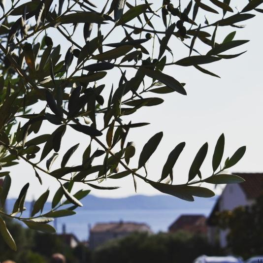 Olive tree in Zadar